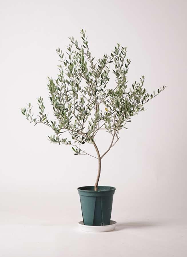 観葉植物 オリーブの木 8号 マンザニロ プラスチック鉢