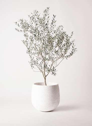 観葉植物 オリーブの木 8号 カヨンヌ エコストーンwhite 付き