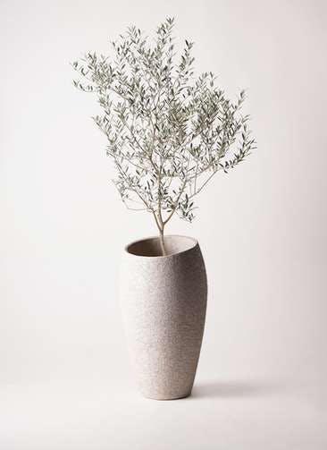 観葉植物 オリーブの木 8号 カヨンヌ エコストーントールタイプ Light Gray 付き