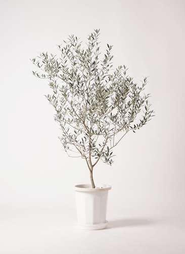 観葉植物 オリーブの木 8号 カヨンヌ プラスチック鉢