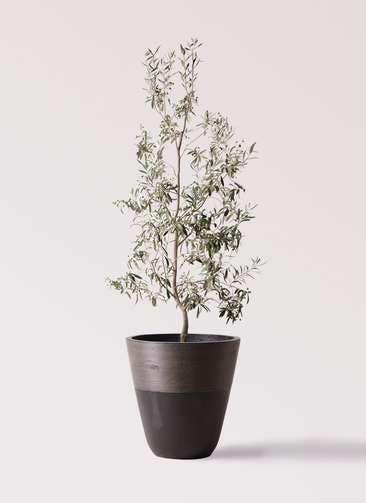 観葉植物 オリーブの木 10号 ワンセブンセブン ジュピター 黒 付き