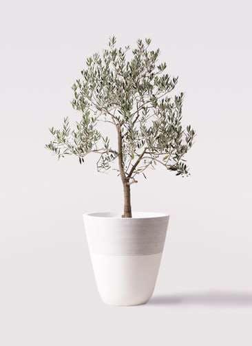 観葉植物 オリーブの木 10号 ピッチョリーネ ジュピター 白 付き