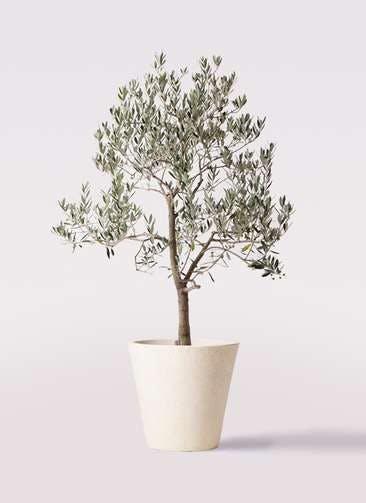 観葉植物 オリーブの木 10号 ピッチョリーネ フォリオソリッド クリーム 付き