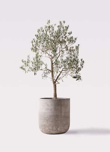 観葉植物 オリーブの木 10号 ピッチョリーネ エルバ 白 付き