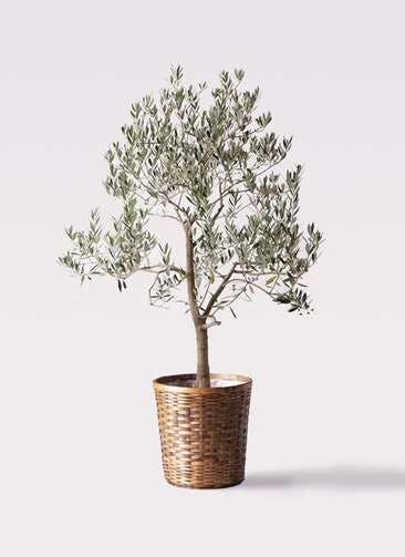 観葉植物 オリーブの木 10号 ピッチョリーネ 竹バスケット 付き