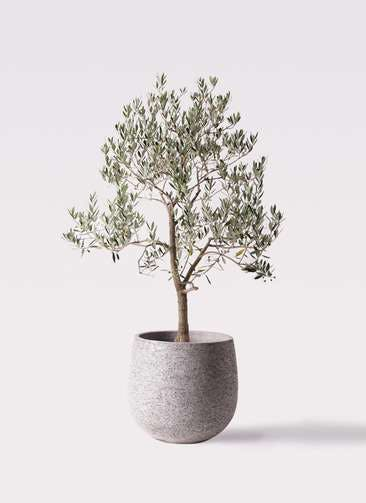 観葉植物 オリーブの木 10号 ピッチョリーネ エコストーンGray 付き