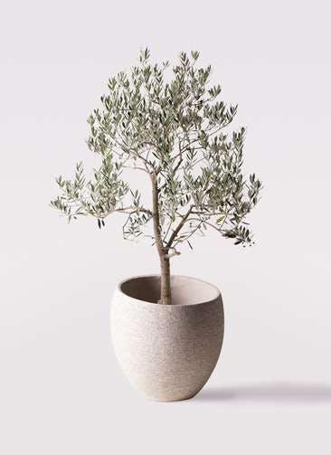 観葉植物 オリーブの木 10号 ピッチョリーネ エコストーンLight Gray 付き