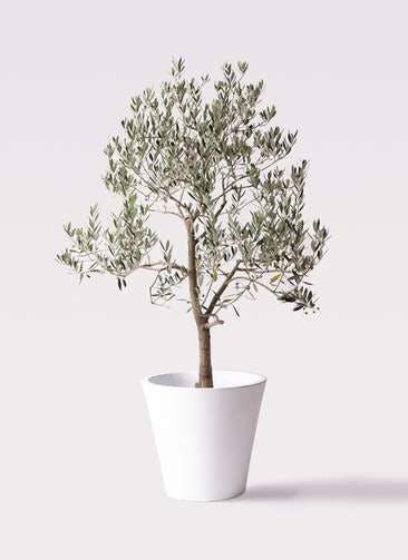 観葉植物 オリーブの木 10号 ピッチョリーネ フォリオソリッド 白 付き