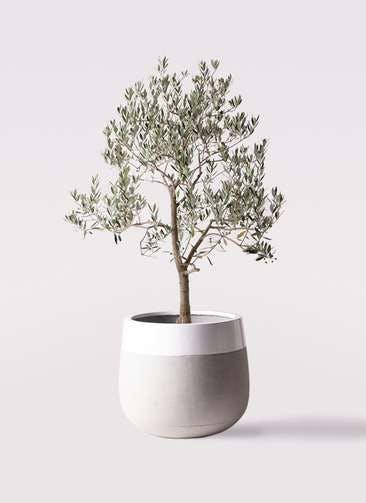 観葉植物 オリーブの木 10号 ピッチョリーネ ファイバーストーンタウルス ミドル 白 付き