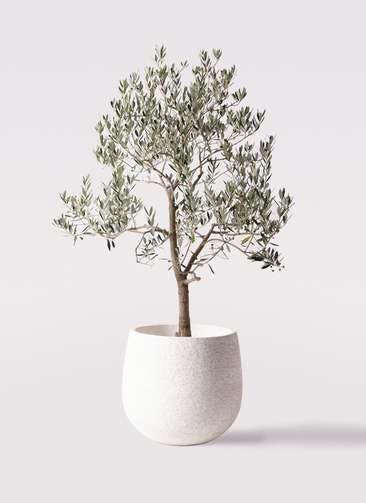 観葉植物 オリーブの木 10号 ピッチョリーネ エコストーンwhite 付き