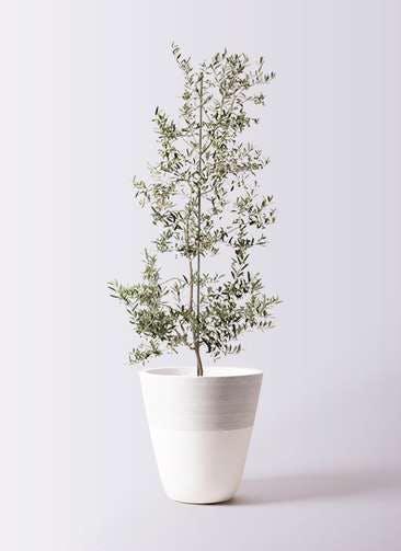 観葉植物 オリーブの木 10号 アルベキーナ ジュピター 白 付き