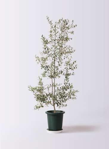 観葉植物 オリーブの木 10号 アルベキーナ プラスチック鉢