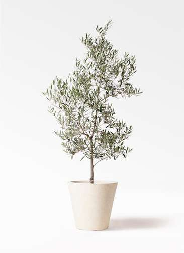 観葉植物 オリーブの木 10号 ピクアル フォリオソリッド クリーム 付き