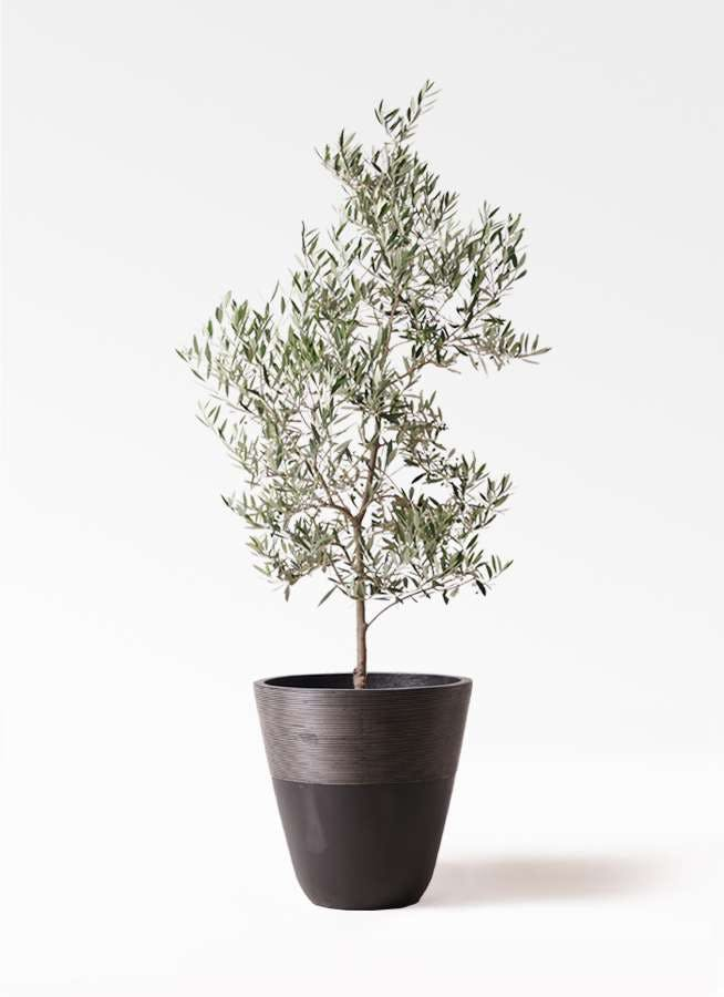 観葉植物 オリーブの木 10号 ピクアル ジュピター 黒 付き