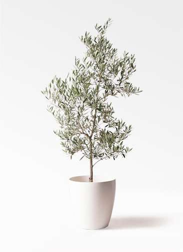 観葉植物 オリーブの木 10号 ピクアル ラスターポット 付き