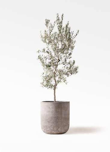 観葉植物 オリーブの木 10号 バロウニ エルバ 白 付き