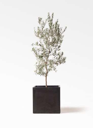 観葉植物 オリーブの木 10号 バロウニ ファイバークレイ キューブ 付き