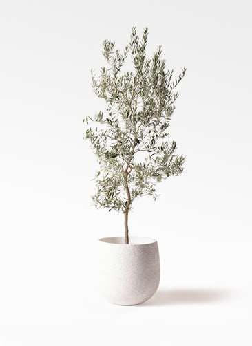 観葉植物 オリーブの木 10号 バロウニ エコストーンwhite 付き
