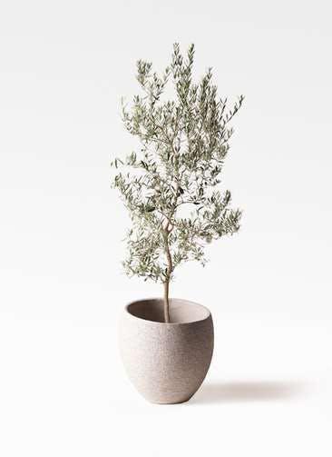 観葉植物 オリーブの木 10号 バロウニ エコストーンLight Gray 付き