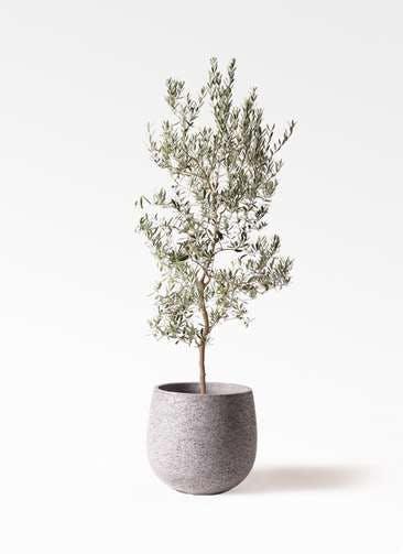 観葉植物 オリーブの木 10号 バロウニ エコストーンGray 付き