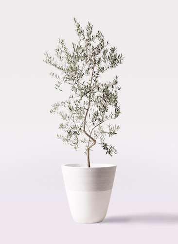 観葉植物 オリーブの木 10号 ペンドリノ ジュピター 白 付き