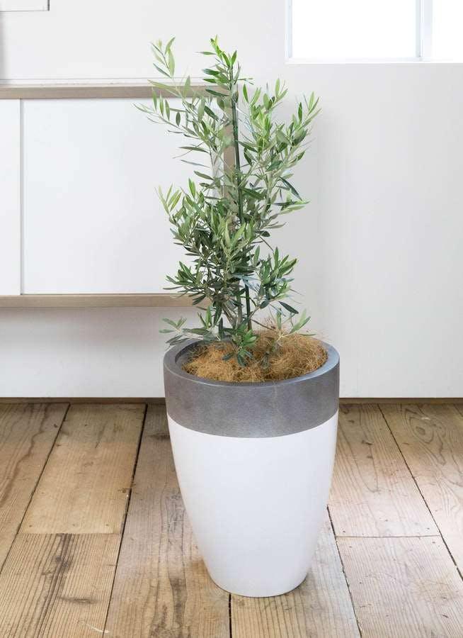 観葉植物 オリーブの木 8号 チプレッシーノ ファイバーストーンカプリ 白 付き