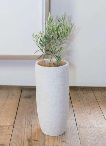 観葉植物 オリーブの木 6号 チプレッシーノ エコストーントールタイプ white 付き