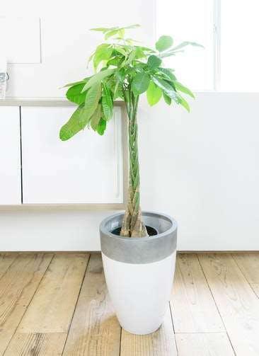 観葉植物 パキラ 8号 ねじり ファイバーストーンカプリ 白 付き