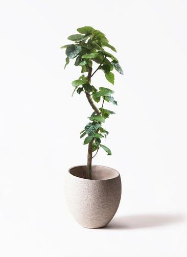 観葉植物 フィカス ウンベラータ 10号 曲がり  Eco Stone(エコストーン) Light Gray 付き