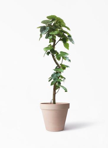 観葉植物 フィカス ウンベラータ 10号 曲がり スタンダルド アリーナ 付き