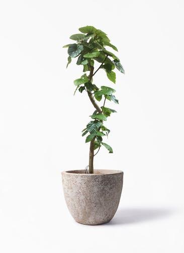 観葉植物 フィカス ウンベラータ 10号 曲がり アビスソニア ラウンド 付き