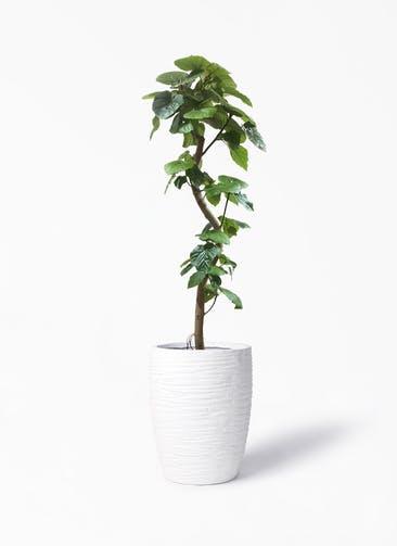 観葉植物 フィカス ウンベラータ 10号 曲がり サン ミドル リッジ 白 付き