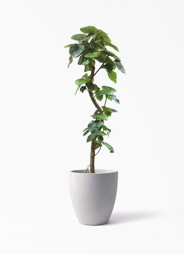 観葉植物 フィカス ウンベラータ 10号 曲がり コーテス ラウンド ベージュ 付き