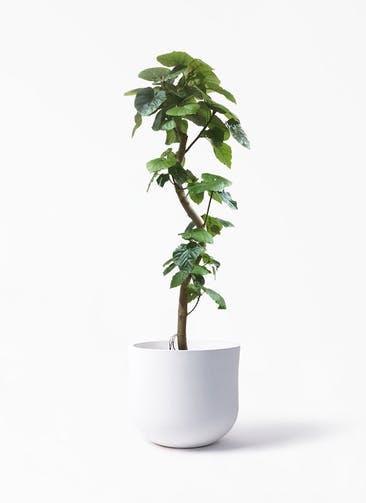 観葉植物 フィカス ウンベラータ 10号 曲がり アユラニ ライレイ 付き