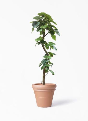 観葉植物 フィカス ウンベラータ 10号 曲がり トスカーナ リムポット 付き