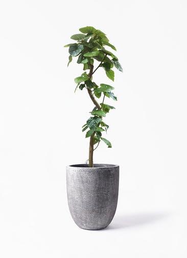 観葉植物 フィカス ウンベラータ 10号 曲がり フォリオアルトエッグ ブラックウォッシュ 付き