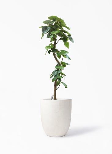 観葉植物 フィカス ウンベラータ 10号 曲がり フォリオアルトエッグ クリーム 付き