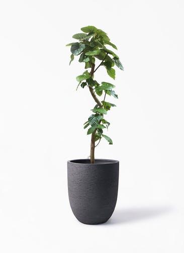 観葉植物 フィカス ウンベラータ 10号 曲がり ビアスアルトエッグ ブラック 付き