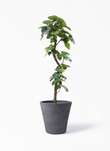 観葉植物 フィカス ウンベラータ 10号 曲がり ビアスソリッド ブラック 付き