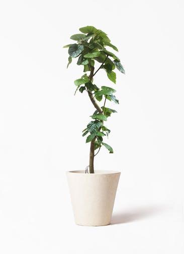 観葉植物 フィカス ウンベラータ 10号 曲がり フォリオソリッド クリーム 付き