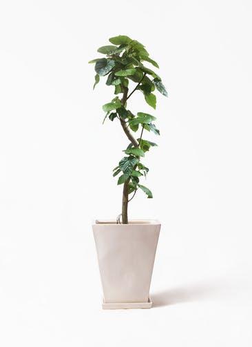 観葉植物 フィカス ウンベラータ 10号 曲がり スクエアハット 白  付き