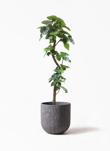 観葉植物 フィカス ウンベラータ 10号 曲がり カルディナ ダークグレイ 付き