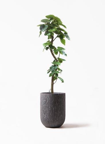 観葉植物 フィカス ウンベラータ 10号 曲がり カルディナ トール ダークグレイ 付き