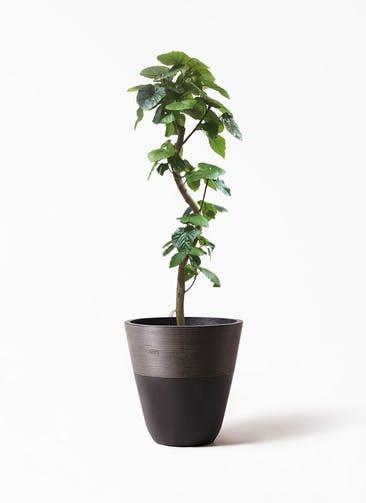 観葉植物 フィカス ウンベラータ 10号 曲がり ジュピター 黒 付き