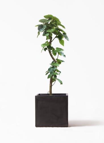 観葉植物 フィカス ウンベラータ 10号 曲がり ファイバークレイ キューブ 付き