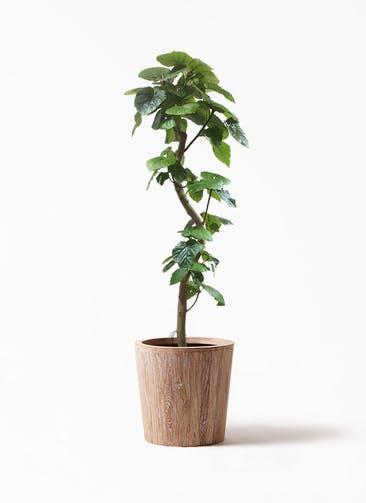 観葉植物 フィカス ウンベラータ 10号 曲がり ウッドプランター 付き