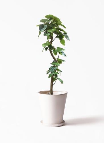 観葉植物 フィカス ウンベラータ 10号 曲がり サブリナ 白 付き