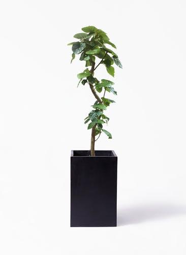 観葉植物 フィカス ウンベラータ 10号 曲がり セドナロング  墨 付き