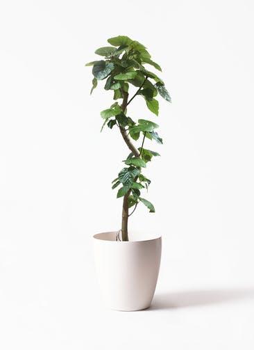 観葉植物 フィカス ウンベラータ 10号 曲がり ラスターポット white 付き