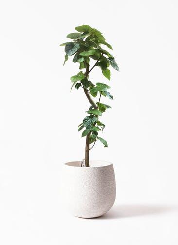 観葉植物 フィカス ウンベラータ 10号 曲がり  Eco Stone(エコストーン) White 付き